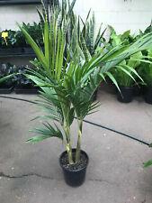 Bangalow Palm ( Archontophoenix cunningham) 10 Seeds