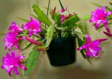 20 Chiapasia nelsonii (orchid jungle cactus) SEEDS SEMI no ephyllum caralluma