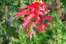Scarlet Oak Tree - Shade Healthy Established Rooted - 1 Plant in 1 Gallon Pot