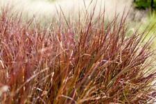 Carex BUchananii 'Firefox' 20 Seeds, Leatherleaf Sedge Grass, Red to Brown Folia