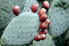 Spineless Thornless Edible Nopales Prickly Pear Cactus, 2 Pads - FREE SHIPPING