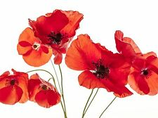ART PRINT POSTER PHOTO NATURE FLOWER POPPY HEADS RED PETALS PICTURE LFMP1244