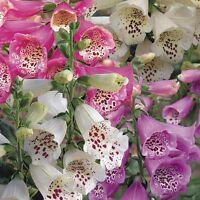 Foxglove Digitalis  'mixed x 6 jumbo plug plants Perennials