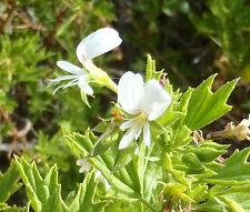Pelargonim ribifolium - Currant Leaved Pelargonium - 5 Fresh Seeds