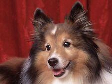 Shetland Sheepdog / Dog 8 x 10 / 8x10 Glossy Photo Picture