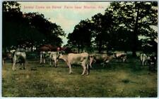 MARION, Alabama  AL   Jersey Cows on BATES FARM  ca 1910s  Postcard