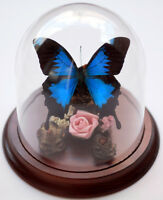 Blue Ulysses Butterfly in a Decorative Dome