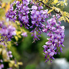 10pcs Creepers Wisteria Seeds Rare Bonsai Tree Ornamental Plant Flower Garden