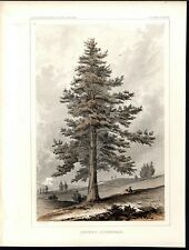 Sierra Juniper Relaxing Shade Botany 1857 antique color lithograph print