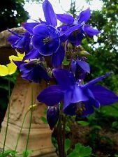 Aquilegia Blue Star. 30 Seeds.