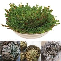 50PC Rose of Jericho Dinosaur Plant Air Fern Spike Moss Live Resurrection House