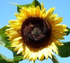 20 Samen Sonnenblume Gelbe Riesen mit riesigen Blüten