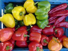 4 x Paprikas rot gelb orange Spitz rot zuckersüß 30 Samen MISCHUNG