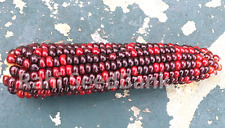 Corn Zara  - One of the Most Stunning Red & Dark Chocolate Corn Variety!!!