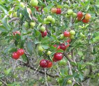 der Hit: die Acerola- oder Jamaika-Kirsche - super-gesund und furchtbar lecker !