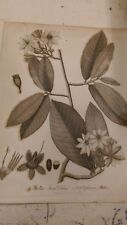 Ochna: A yellow leaved ochna: Encyclopaedia Londinensis V.17