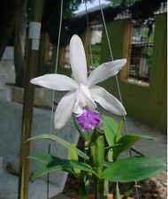 Cattleya intermedia v. aquini Orchidee NATURF= HERRLICH+ EDEL+ z.Z.m.BLÜTENTRIEB