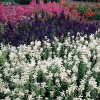 Salvia- White Swan - 100 Seeds-