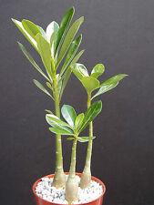 """Adenium Obesum rare caudex collection exotic bonsai desert rose 6 plants lot 4"""""""