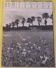 1956 CROCUS PRÈS DE DOMRÉMY VOSGES