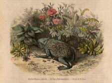 Stampa antica animali RANA PIPA PIPA 1858 Old print