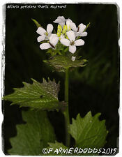 Alliaria petiolata 'Garlic Mustard' [Ex. Co. Durham, England] 300+ SEEDS