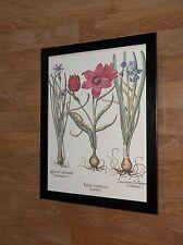 Tulip - vintage Print by Besler - 12''x16'' frame - botanical besler wall art