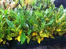"""Croton - Gold Dust - Live Plant - 4"""" Pots - 4 Plants - Multi Color"""