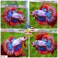 BL-98 Live Betta Fish High Quality Halfmoon HM Male Flaming Nemo Galaxy - RARE
