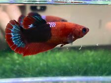 New listing [Ngf - 01075] Live Betta Fish Premium Grade Hellgirl
