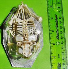 """Lot of 5 X Large Real Clean Frog Skeleton Duttaphrynus melanostictus 4-5""""  FAST"""
