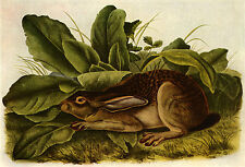John James Audubon Jack Rabbit 15x22 Beautiful Art Print Numbered Ltd. Edition
