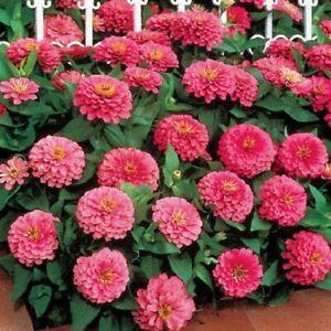 50 Zinnia Seeds Dreamland Pink FLOWER SEEDS