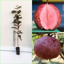 "Thai Red Guava Plant RARE Red Bangkok var. special taste Tropical tree 22"" tall"