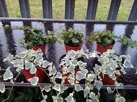 6 x Hedera Mixed Indoor/Outdoor Trailing Variegated/Green Ivy 8cm Pots