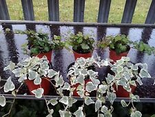 6 x Hedera Mixed Indoor/Outdoor Trailing Variegated/Green Ivy 8cm Pots
