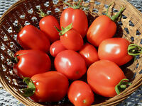 "50 Seeds BIO TOMATO /""ROMA VF/"" ORGANIC"