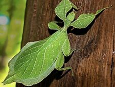 5 Eggs - Phyllium Philippinicum(Leaf stick insect) + 1 Free
