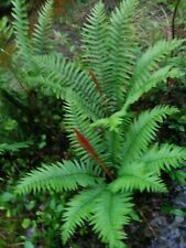 5 TN Ostrich Fern / Glade Fern Perennial NATIVE WOODLAND FERNS BARE ROOT
