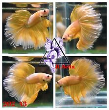 [202_A3]Live Betta Fish High Quality Male Fancy Over Halfmoon 📸Video Included📸
