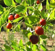 Zizyphus Jujuba var. Spinosa Seeds - Jujube Tree - Chinese Date Tropical Fruit