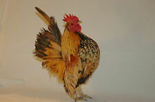 14+ Traditional Silkied and smooth Serama bantam chicken Eggs proven fertility
