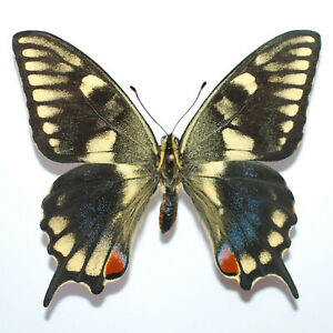 RARE Papilio machaon from Portugal EXTREME ABERRATION male (mounted)