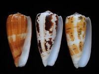 Sea Shells Conus magus 69mm ID#4714 set of 3 shells