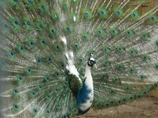 4 Blue India Pied Peafowl - Peacock hatching eggs NPIP- Shipping NOW!