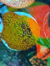 New listing Rainbow Montipora. Live Coral. Wysiwyg