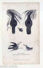 Tropische Vögel-Ornithologie - Kupferstich 1790 Kolibri-Tropical Birds-Vogel