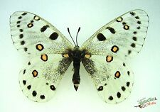 snow apollo swallowtail butterfly Parnassius apollonius SET x1 TS A1 FM RARE
