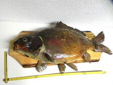 KARPFEN Tierpräparat Fisch Präparat präpariert 26 Pfund Fanggewicht #60.12