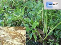 DR T&T 100g Angelica sinensis/ dong quai / dang gui  dry herbs